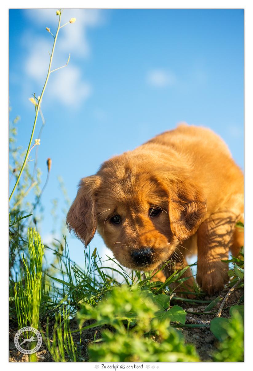 Power of Gold - Golden Retriever pup door Mogi Hondenfotografie