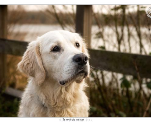Golden Retriever Donder - door Mogi Hondenfotografie