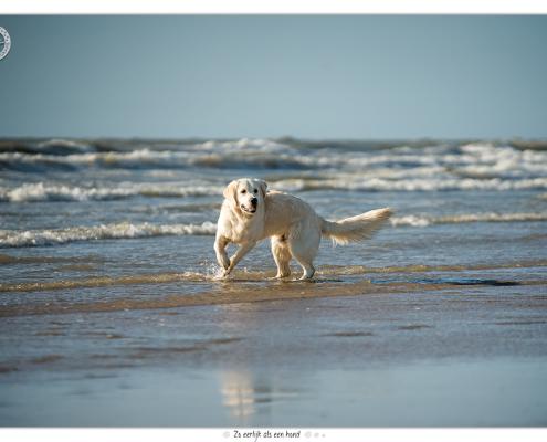 Donder, Golden Retriever - Mogi Hondenfotografie
