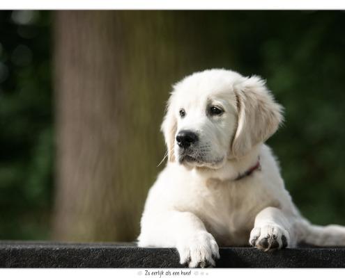 Dondertje, Golden Retriever pup door Mogi Hondenfotografie