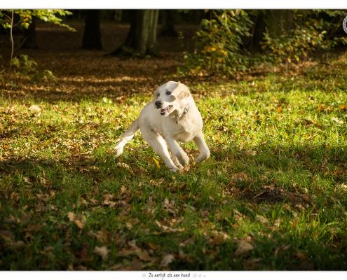 Dondertje, Golden Retriever door Mogi Hondenfotografie