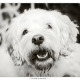 Lana, kruising Maltezer Leeuwtje - King Charles Cavalier Spaniel door Mogi Hondenfotografie