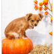 Lulu, Chihuahua door Mogi Hondenfotografie