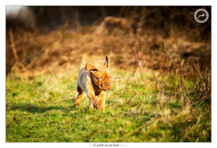 Bordeaux Dog pup Joy door Mogi Hondenfotografie