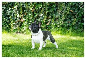Franse Bulldog pup Jerry - door Mogi Hondenfotografie