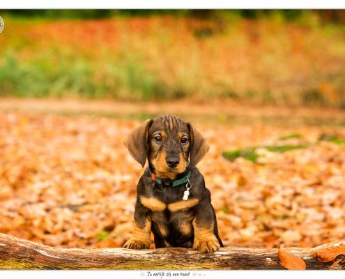 Teckel pup Pepper door Mogi Hondenfotografie
