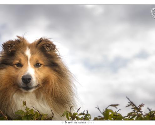 Sheltie Victor door Mogi Hondenfotografie