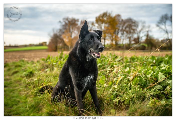 Jari, herder / labrador kruising