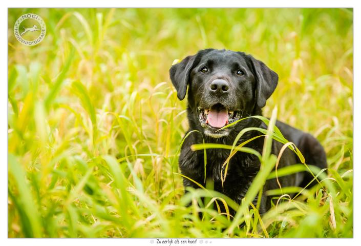 Dobbs, zwarte labrador