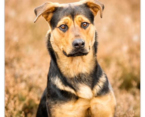 Cooper, kruising Duitse Herder / Rottweiler