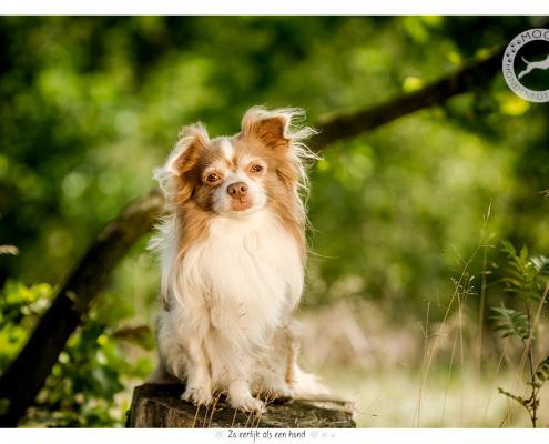 Langharige Chihuahua - door Mogi Hondenfotografie
