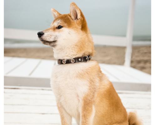 Fotoshoot voor halsbanden Designer Dog: Sam