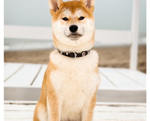 Fotoshoot voor halsbanden: Sam Designer Dog