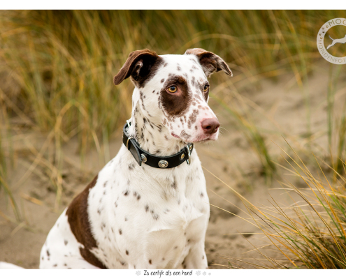 Fotoshoot voor halsbanden Designer Dog: Harvey