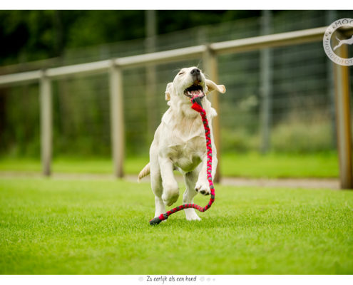 Golden Retriever pup Britt door Mogi Hondenfotografie