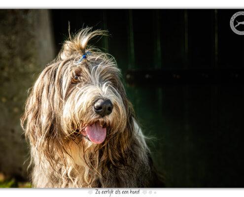 Bearded Collie door Mogi Hondenfotografie
