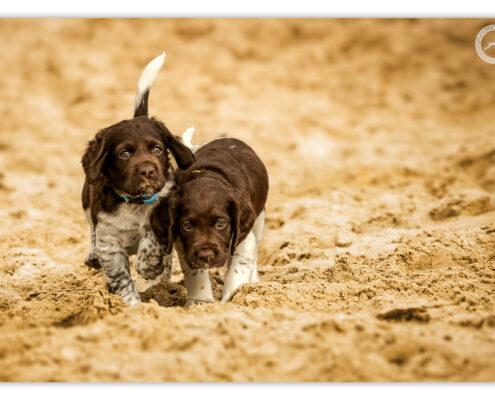 Heidewachtel pups door Mogi Hondenfotografie