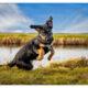 Kruising Berner Sennen Duitse Herder pup door Mogi Hondenfotografie