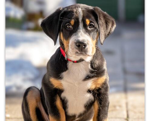 Grote Zwitserse Sennenhond puppy door Mogi Hondenfotografie