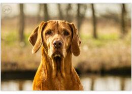 Dani, Vizsla door Mogi Hondenfotografie