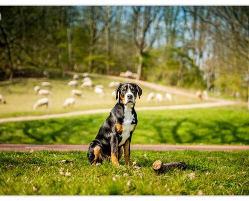 Grote Zwitserse Sennen Hond door Mogi Hondenfotografie