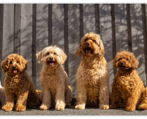 Labradoodles door Mogi Hondenfotografie