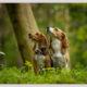 Beagles door Mogi Hondenfotografie