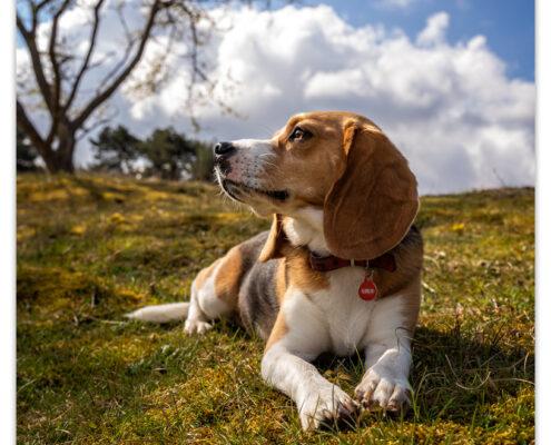 Beagle door Mogi Hondenfotografie